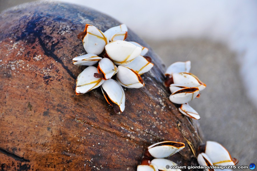 Barnacles on a Coconut - Nature Photography