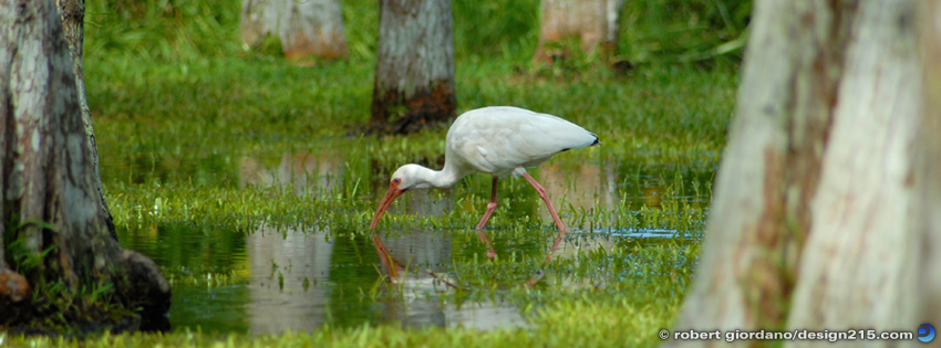 Free Facebook Cover Photos - White Ibis, photo by Robert Giordano