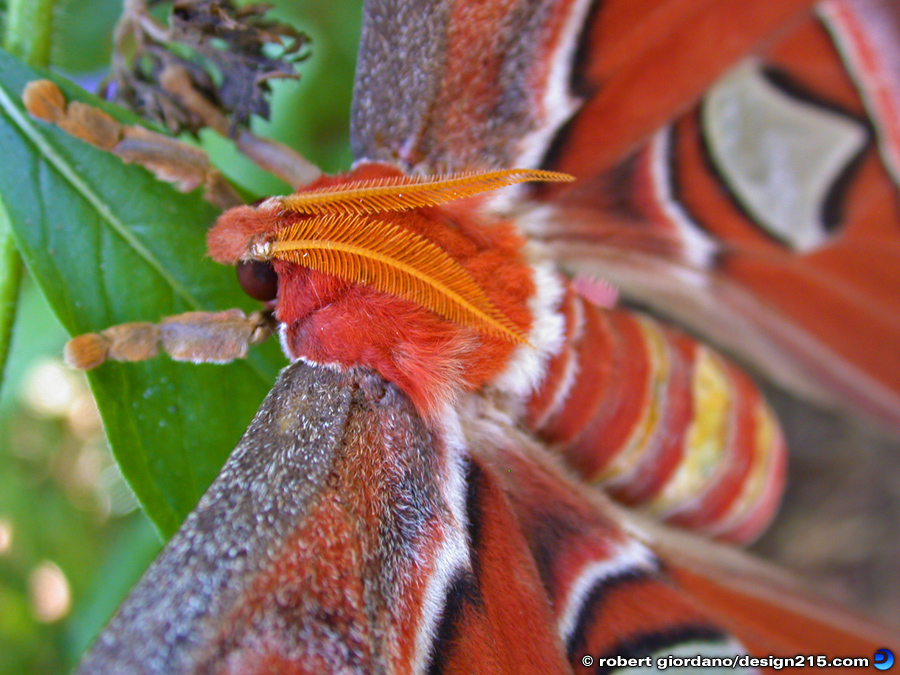 Atlas Moth Macro - Nature Photography