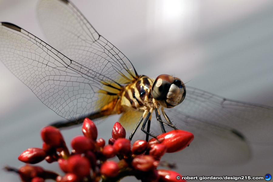 Nature Photography - Dragonfly, photo by Robert Giordano
