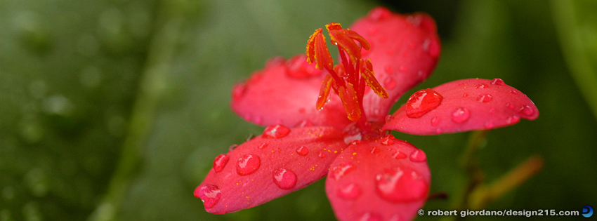 Free Facebook Cover Photos - Red Flower in the Rain, photo by Robert Giordano