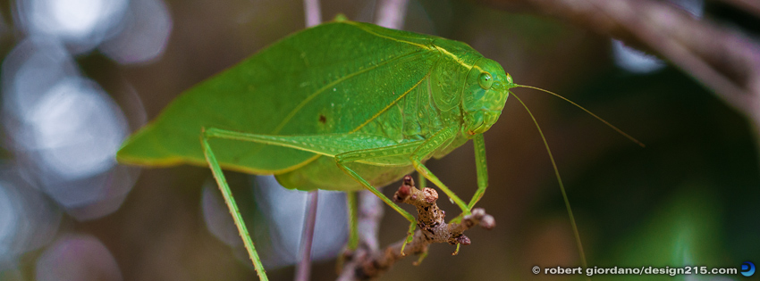 Free Facebook Cover Photos - Green Leaf Insect, photo by Robert Giordano