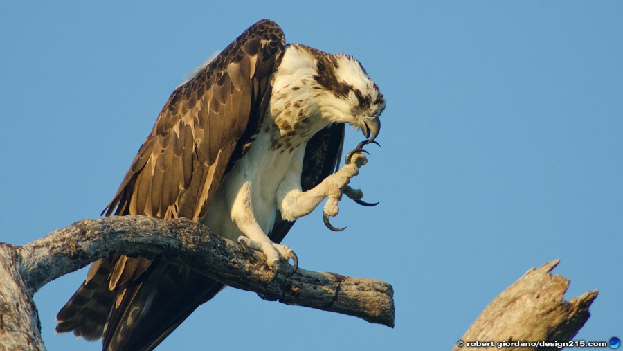 Osprey, cleaning its talons - Miscellaneous