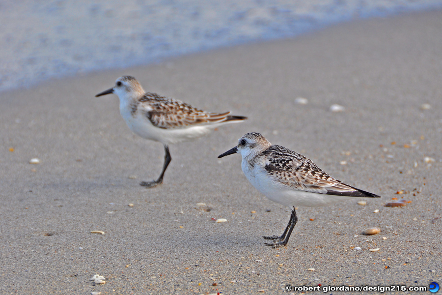 Sandpipers - Nature Photography