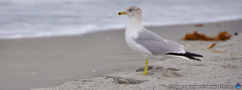 Free Facebook Cover Photos - Seagull, Hollywood Beach, photo by Robert Giordano