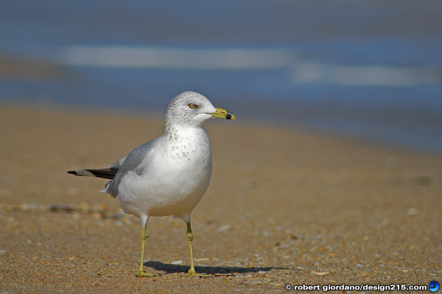 Fort Lauderdale, FL - Seagull on Fort Lauderdale Beach, photo by Robert Giordano