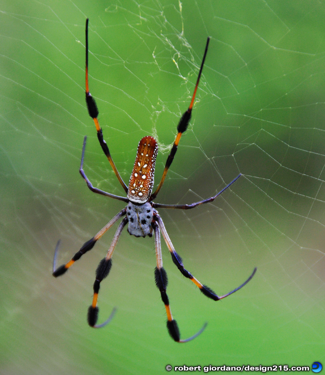 Nature Photography - Golden Silk Spider, photo by Robert Giordano