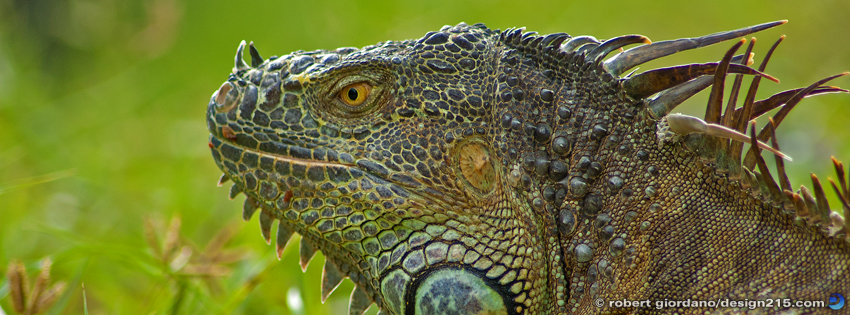 Free Facebook Cover Photos - Wild Iguana, photo by Robert Giordano