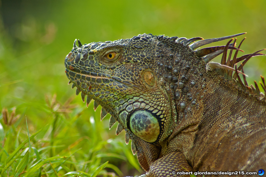 Nature Photography - Wild Iguana, South Florida, photo by Robert Giordano