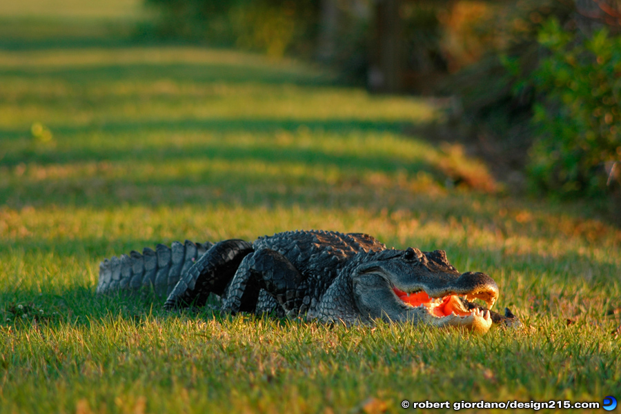 "Nature Photography - Florida Alligator - ""You Are Lunch"", photo by Robert Giordano"